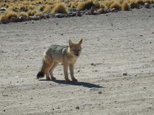 Ve výšce 4300 m.n.m potkáte na silnici různá zvířátka. Okénko na vyfocení jsem otevřel ale nevystupoval