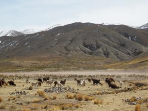 Nějaká ta zvířátka na kopečku... (3500m.m.)